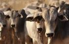 Sinais de queda na oferta de boi em 2019