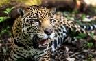 Maior felino das Américas, a onça-pintada está criticamente ameaçada de extinção na caatinga