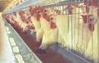 China diz que detectou coronavírus em frango importado do Brasil