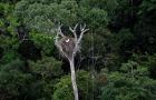 Árvores usadas por harpias para fazer ninhos são alvos de madeireiros na Amazônia